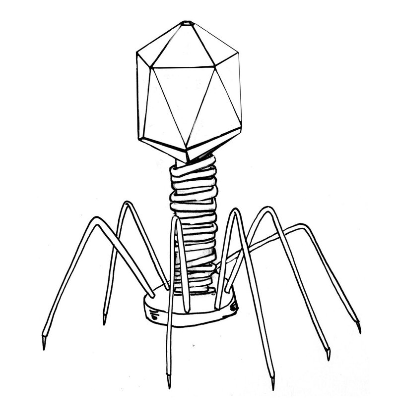 Symmetry is a notable trait of viruses. Bacteriophages commonly show a combination of icosahedral symmetry in the capsid (head) and helical symmetry in the tail sheath.