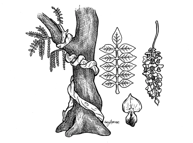 <p><em>Figure 3 - Illustration of climbing wisteria vine with detailed leaf/flower structures (drawing from nature)</em>.</p>