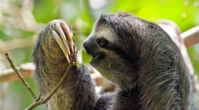 The sloth, as we experience a sloth, is not an organism in itself, but rather a system of interactions between various species.