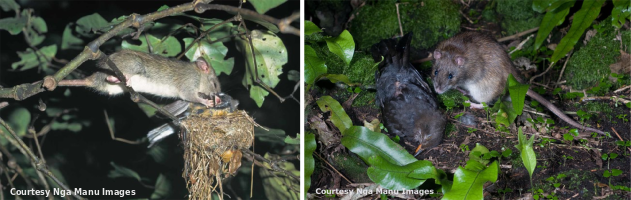 Invasive rats devastate New Zealand's taonga. Left, a black rat preys on a nesting fantail. Right, a Norway rat with a dead blackbird.