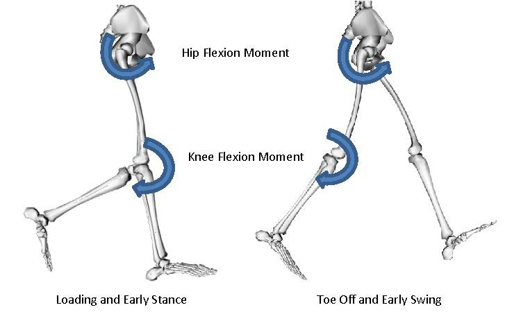 <p>Figure 5: Hip flexion and knee flexion occur simultaneously during early stance and early swing in walking, race walking, and running.</p>