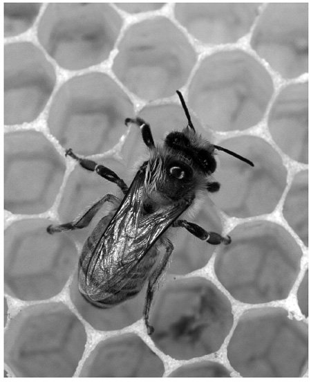 <p><strong>Fig. 4.11</strong><br>European honeybee, <em>Apis mellifera</em>, a pollinator without whose toil we would not have many of our fruit and nut crops. Photo from National Human Genome Research Institute, courtesy U.S. Department of Agriculture.</p>