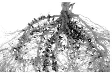 <p><strong>Fig. 4.15</strong><br>Roots of a pea plant with nodules containing the symbiotic bacterium <em>Rhizobium leguminosarum</em>, which converts nonreactive atmospheric N<sub>2</sub> to ammonia. Photo by Bert Luit, Department of Plant Science, University of Manitoba.</p>