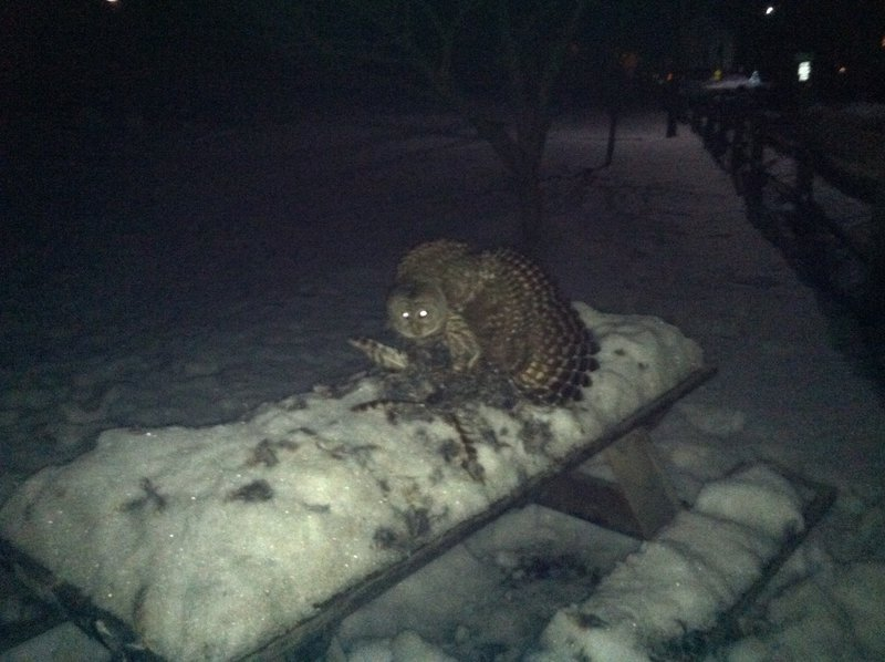 Figure 1. A Barred Owl in a mantling posture above the carcass of a second Barred Owl.