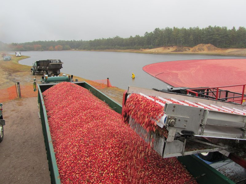 "<p class="""">Wet harvested cranberries are loaded on trucks by machine. Photo credit: Jessica Loyer</p>"