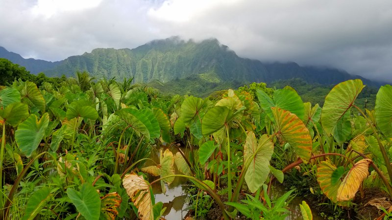 Field visit for research into restoring subsistence farming in Hawaii. Credit: Kiana Frank