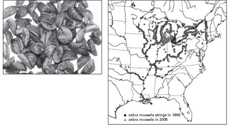 <p><strong>Fig. 4.13</strong><br>European zebra mussels, <em>Dreissena polymorpha</em>, and their distribution in North America. From USGS (2006).</p>