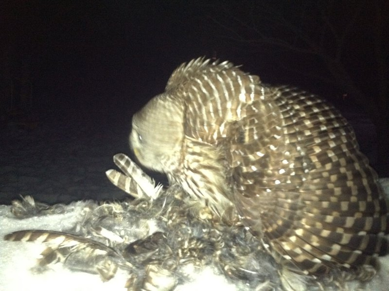 Figure 2. A Barred Owl mantling above the remains of a second Barred Owl which it had plucked and begun consuming.