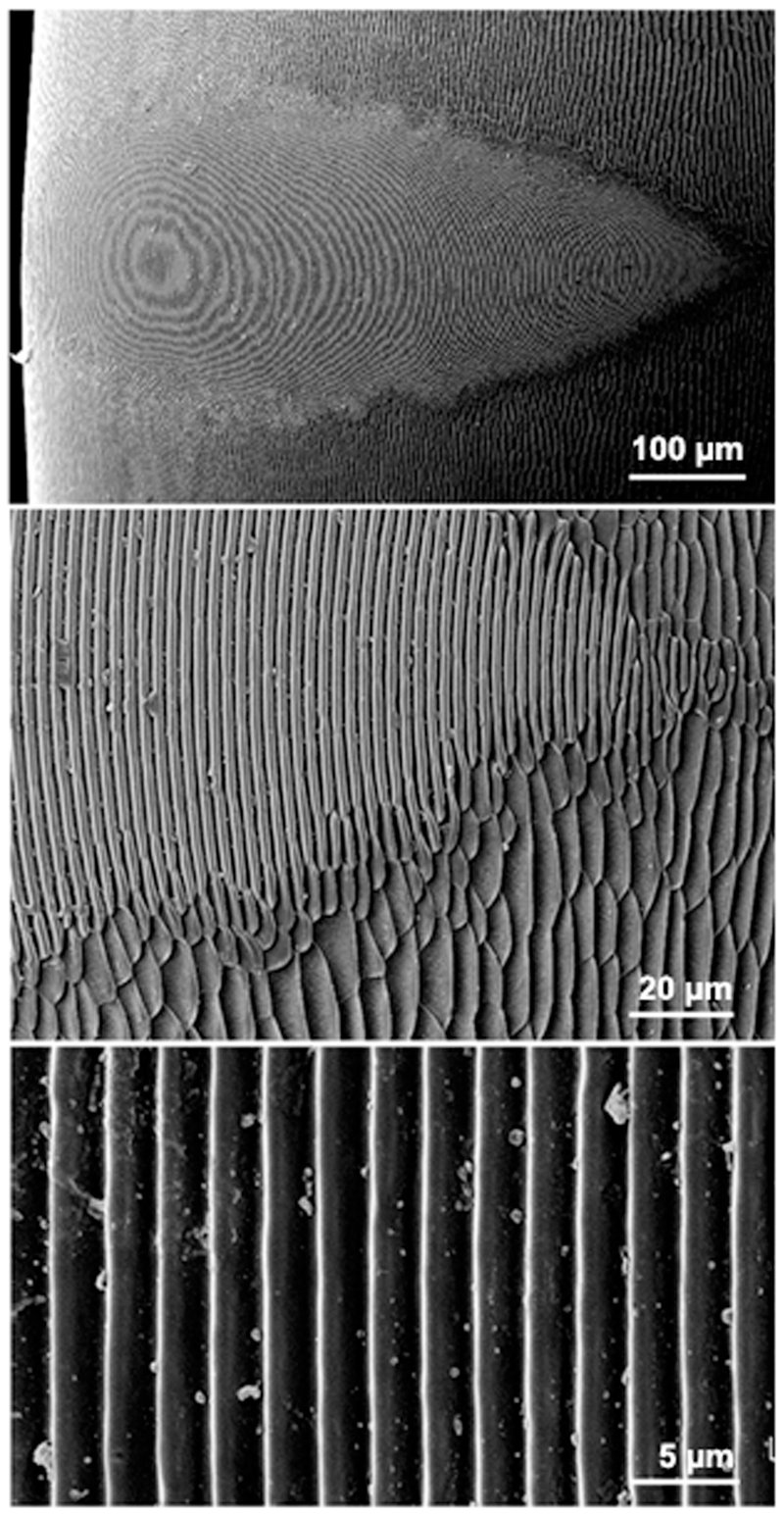 Figure 1 - Scanning electron micrographs of the stridulatory file of a Pachycondyla apicalis species complex worker. (A) General view of the stridulatory file, (B) detail of the ridges showing the interface between the fine structure of the file and the surrounding cuticle, and (C) detail in the medial portion of the stridulatory file, showing the inter-ridge distances. © Ferreira et al., 2010. The image is part of Kuai Shen's open-access article distributed under the terms of the Creative Commons Attribution License. Used with permission.