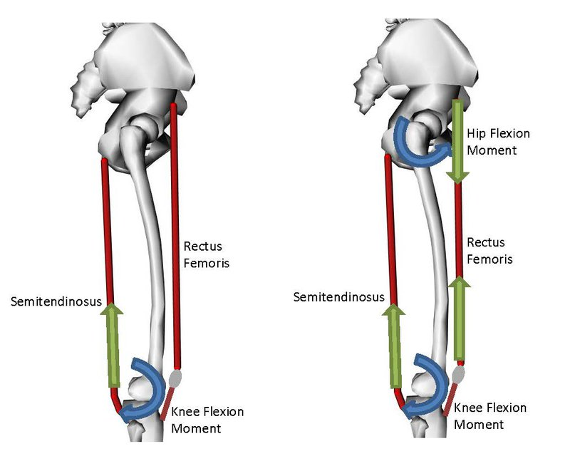 <p>Figure 4: (left) To produce knee flexion, CMC would activate the ST. (right) If knee flexion and hip flexion are concurrent in the motion, CMC would activate both ST and RF. This coordination may appear as cocontraction.</p>